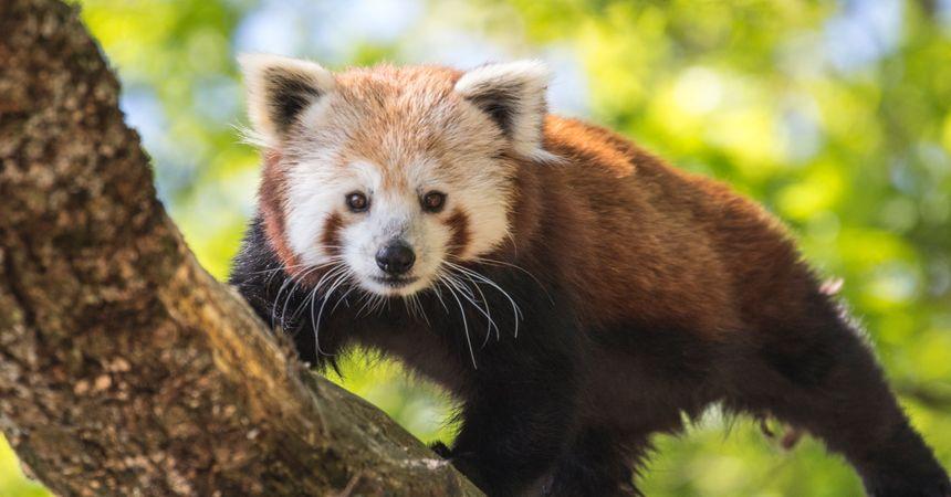 Le panda roux, l'emblème du Parc animalier