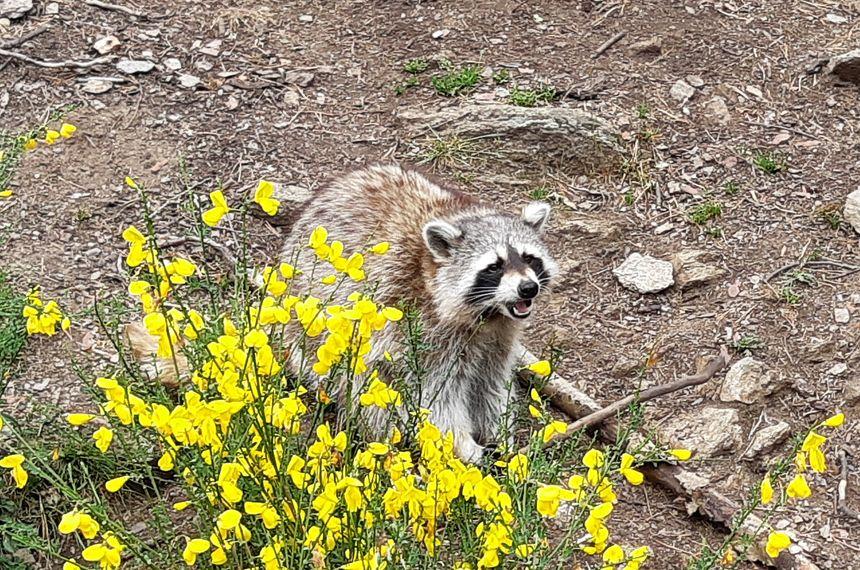 Raton laveur au Parc animalier d'Auvergne
