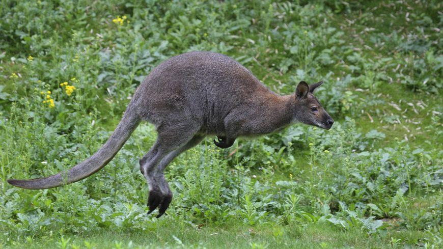 Un wallaby de Bennett a disparu à Aurice, dans les Landes - Image d'illustration