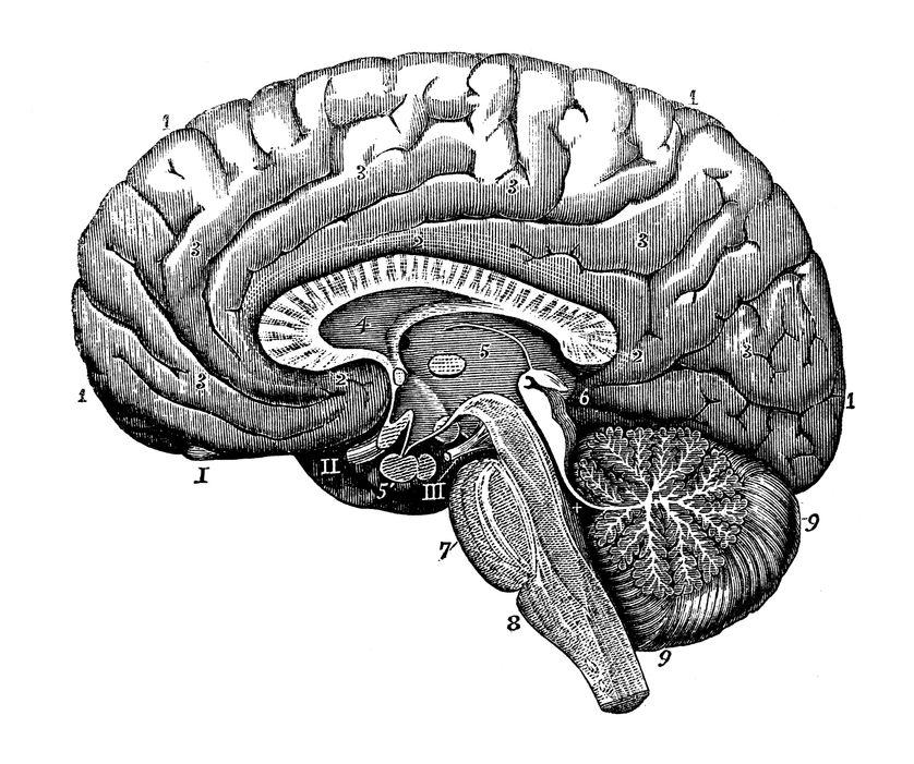 Antique illustration du corps humain anatomie du système nerveux: section du cerveau - Illustrations