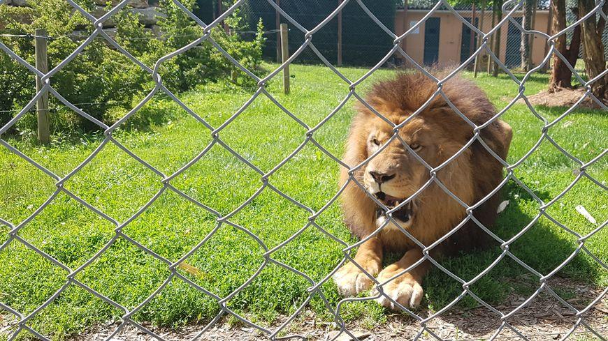 Kaoma, le lion du Domaine des Fauves à Fitilieu