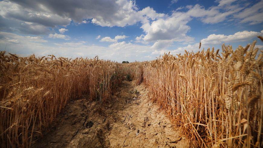 Champ de blé et sécheresse dans les Weppes. Image d'illustration.