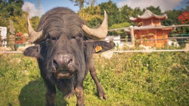 Le buffle pèse 980 kilos.