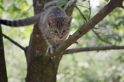 Le chat est un chasseur hors pair, notamment grâce à son agilité exceptionnelle. (Flair Production)
