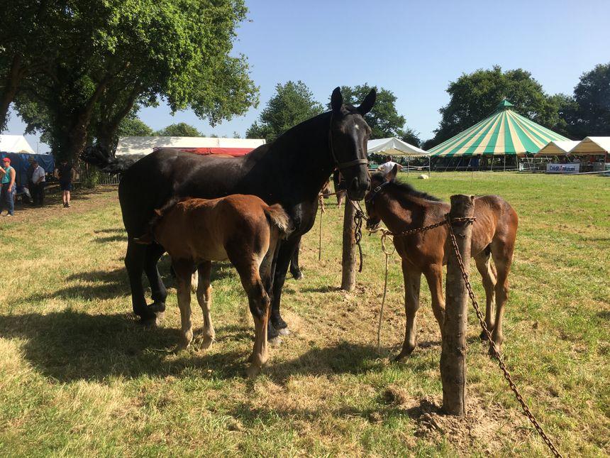 Les chevaux, au soleil le matin, ont pu être protégés par l'ombre l'après-midi.