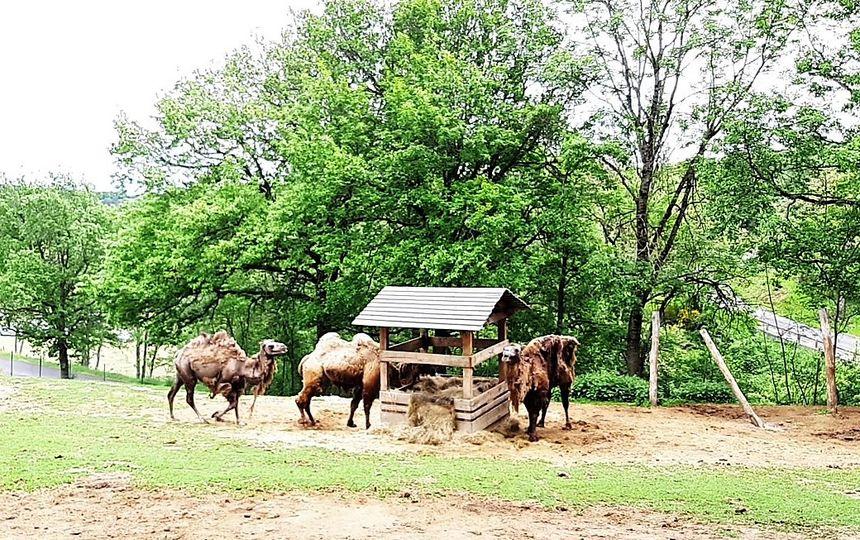 Enclos des chameaux au Parc animalier d'Auvergne