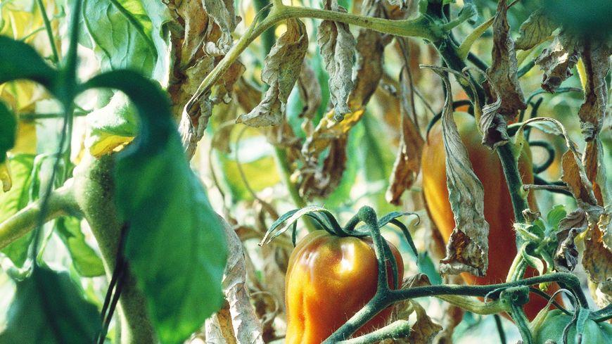 Au potager, on fait le plus d'ombre possible à nos fruits et légumes.