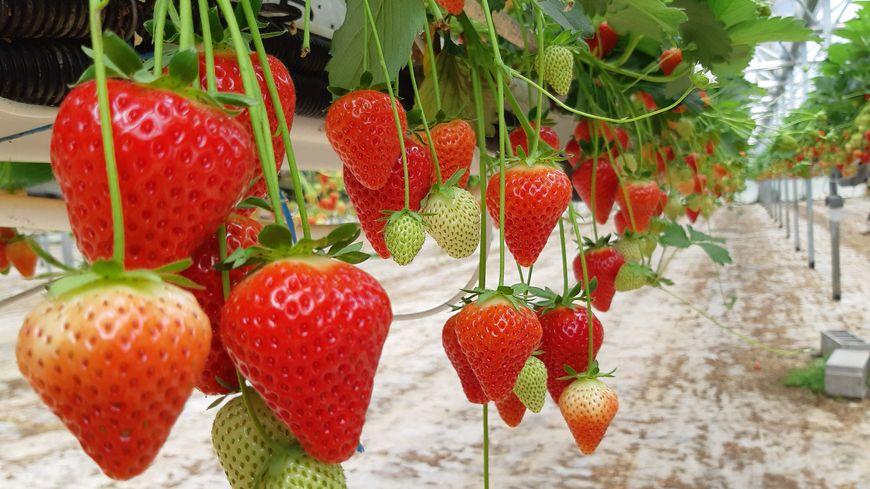 Ces fraises poussent en Dordogne