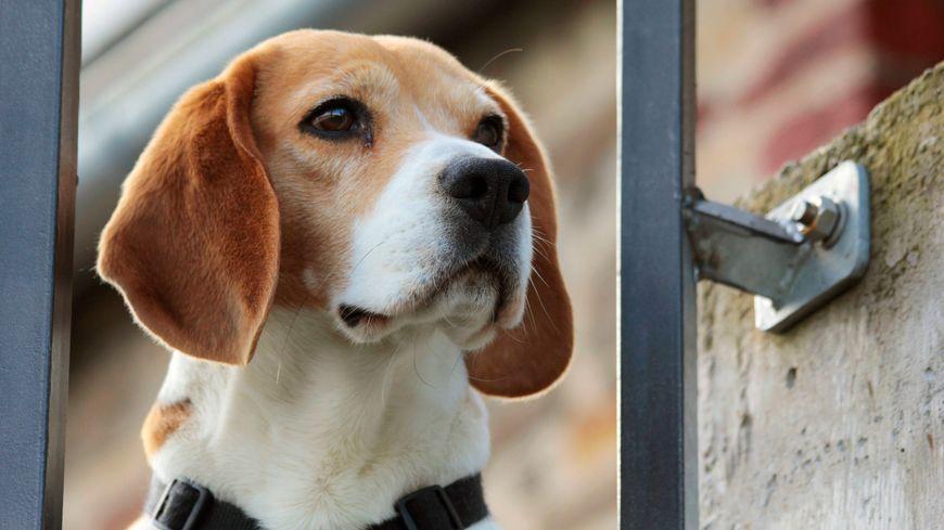 Cinq Beagles sont arrivés fin mai à la SPA du Dauphiné, à Uriage (Isère).