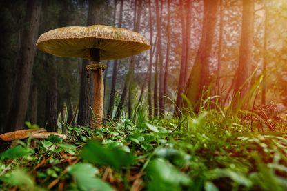 """Un champignon s""""épanouit en pleine forêt"""