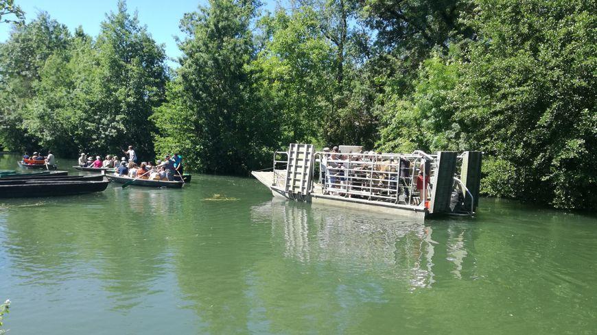 Les vaches de 7 éleveurs ont été transportées vers leur nouveau pré... en bateau !