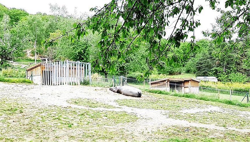 Hippopotame en plein effort au Parc animalier d'Auvergne