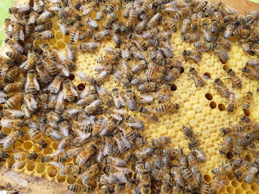 Un cadre sortie d'une ruche avec des centaines d'abeilles dessus