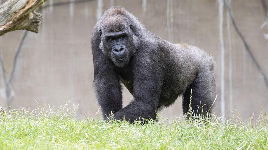 Pour la première fois, le ZooParc de Beauval participe à une réintroduction de gorilles des plaines de l'Ouest en milieu naturel.