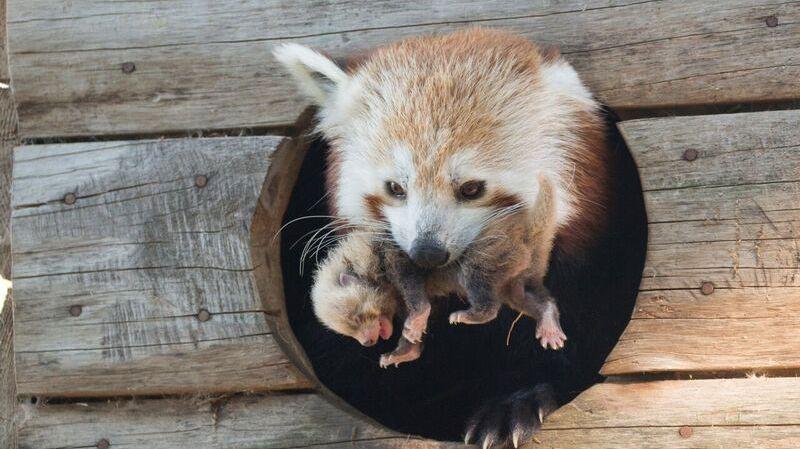 Insolite Les Premières Images Du Bébé Panda Roux Né Au