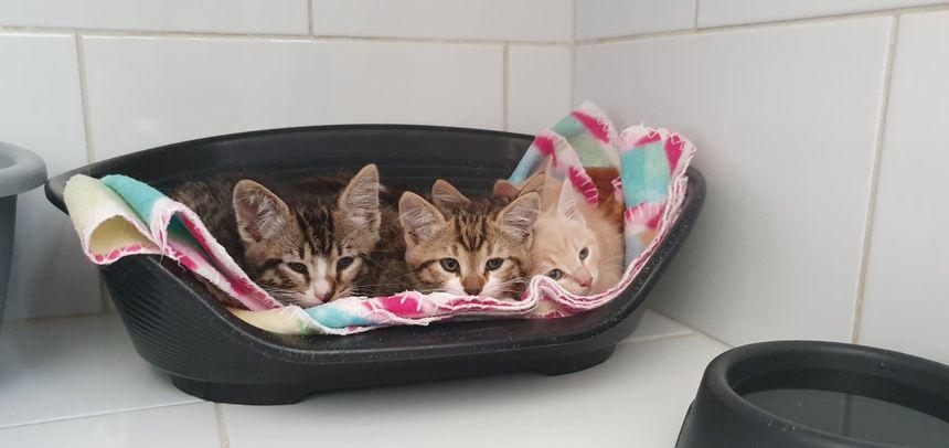 De nombreux chatons viennent d'arriver à la SPA de Périgueux