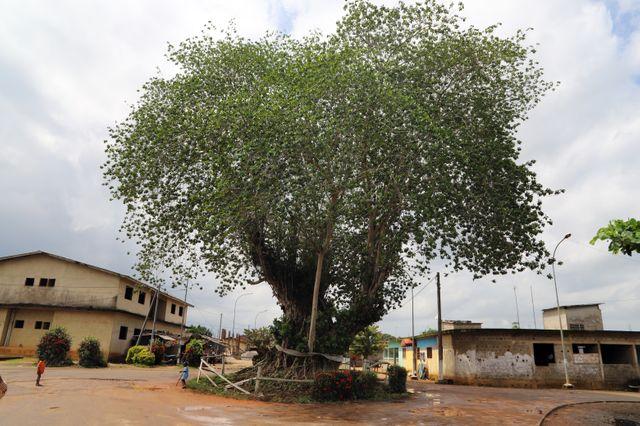 """Le Krindja, l'arbre sacré, au pied duquel a eu lieu la cérémonie d'intronisation du """"prince"""" Michael Jackson en 1992."""