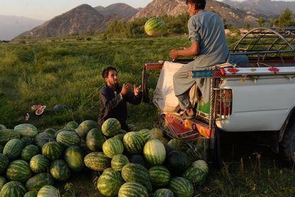 Récolte des pastèques près de Jalalabad, Afghanistan.