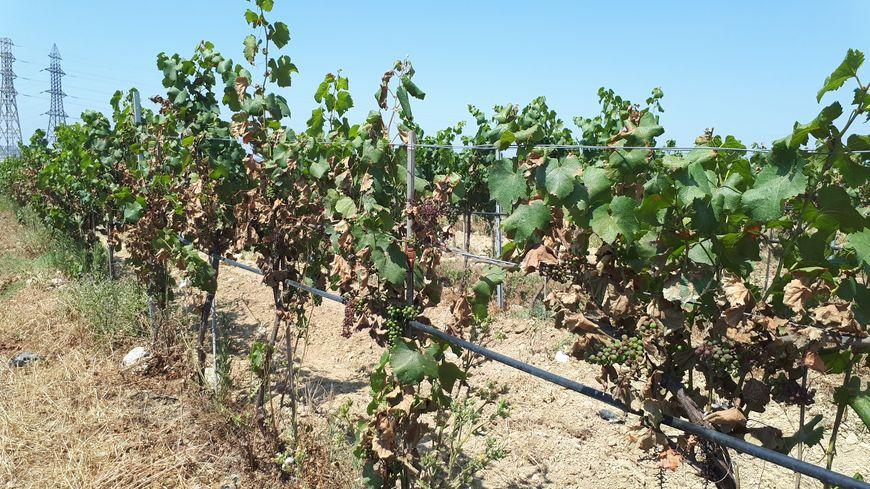 Des vignes brûlées par le soleil à Cournonsec