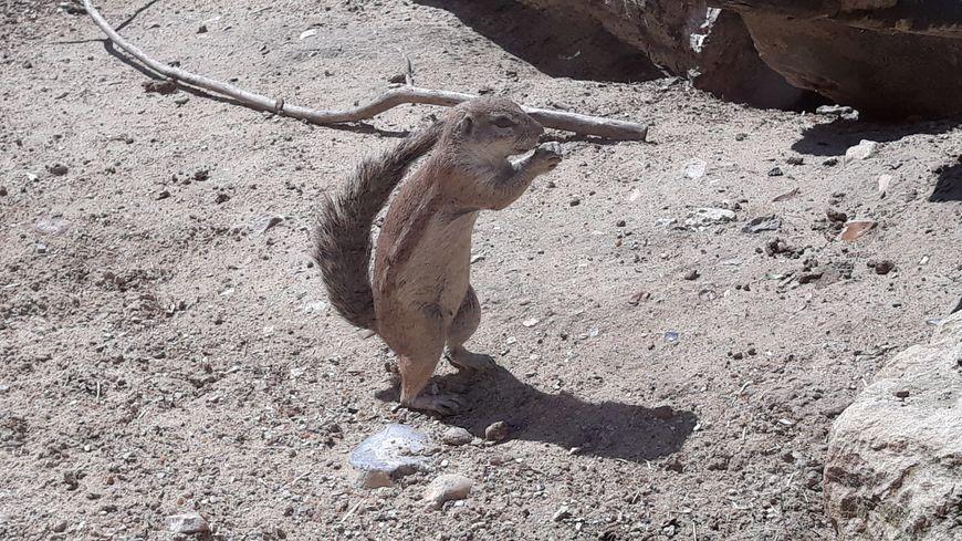 L'écureuil terrestre du Cap aux jardins animaliers Biotropica à Val-de-Reuil (27)