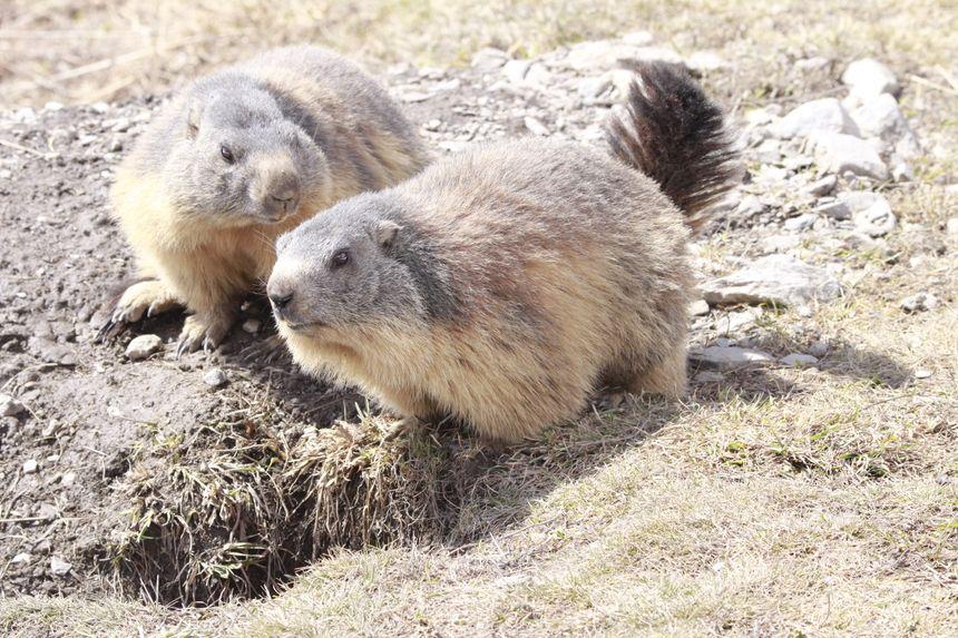 La marmotte vit en famille