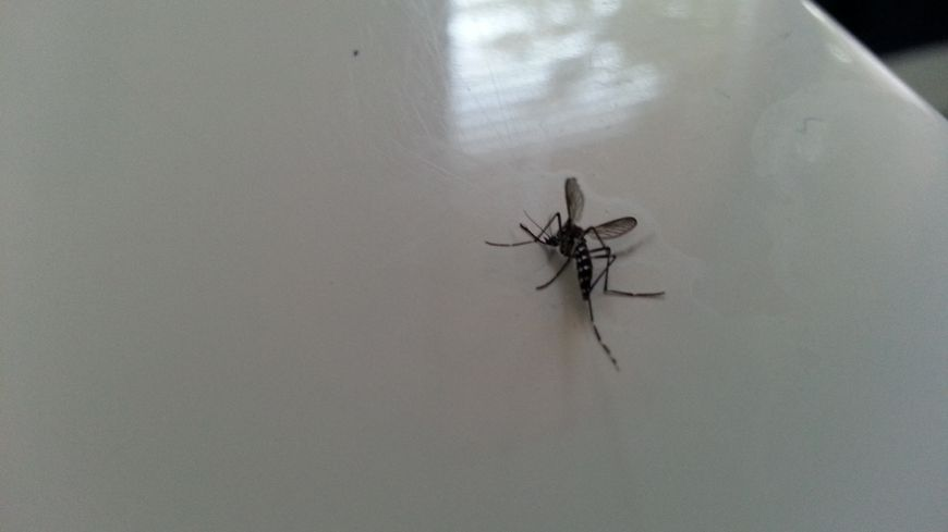 Un moustique tigre, dans une habitation.