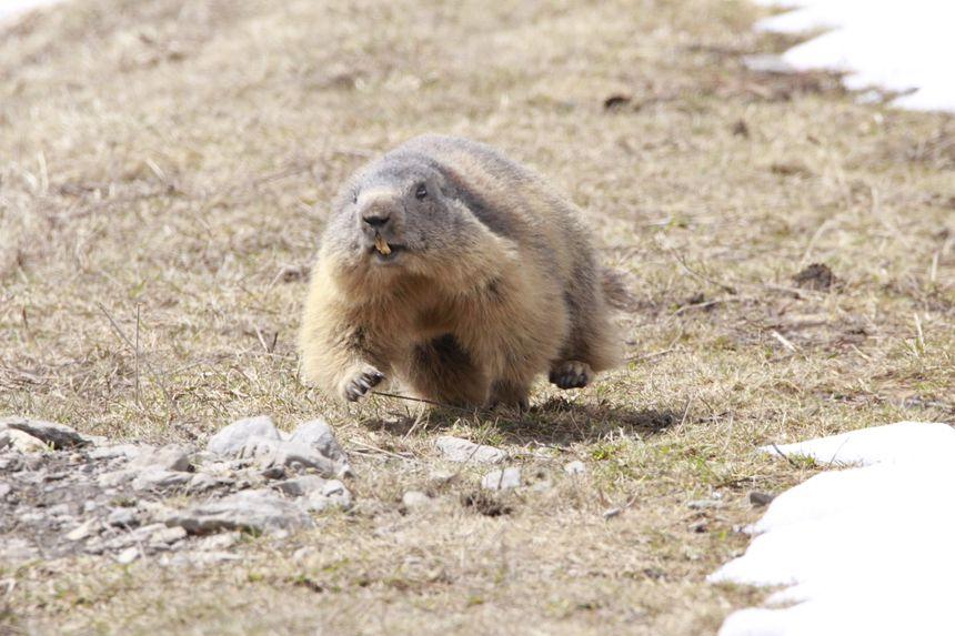 plus la marmotte mange, plus elle a du mal à galoper !