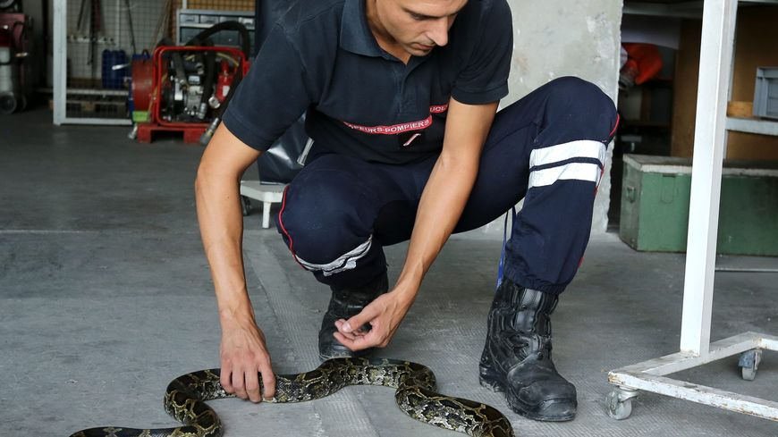 Les pompiers de Villemur sont intervenus sur un chemin communal pour attraper un python comme celui-là (illustration).
