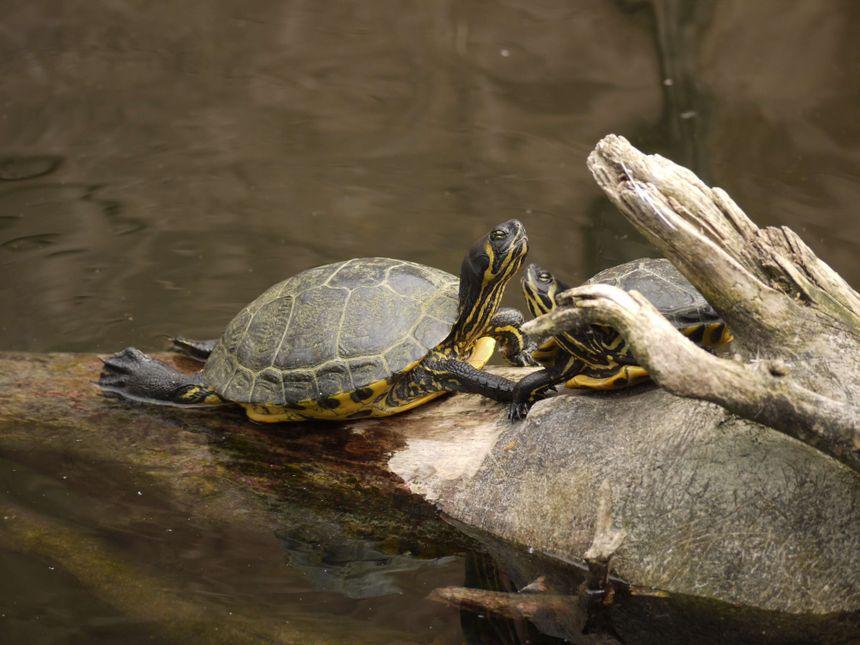Tortues de Floride aux jardins animaliers Biotropica à Val-de-Reuil (27)