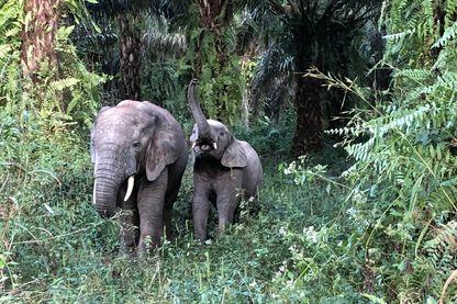 Après sept heures de marche derrière eux, deux éléphants sortent du cœur de la forêt de Ziama et se montrent enfin !
