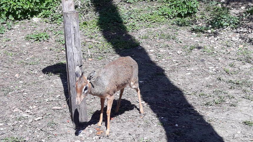 Femelle Dik Dik de Kirk aux jardins animaliers Biotropica à Val-de-Reuil (27)