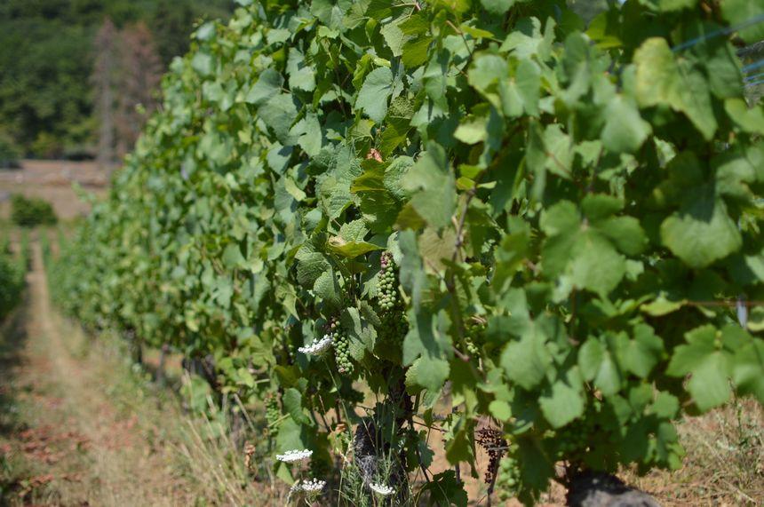 En Moselle, les vignes ont souffert de la canicule