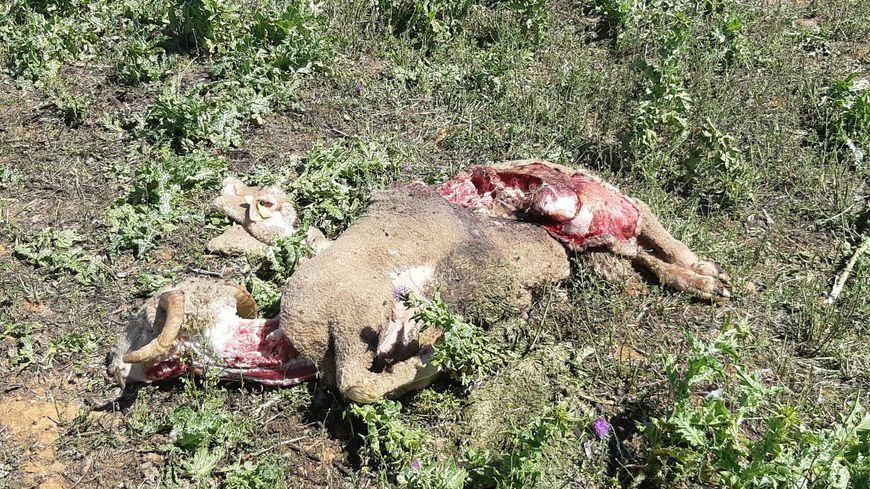 Une brebis après l'attaque d'un loup.