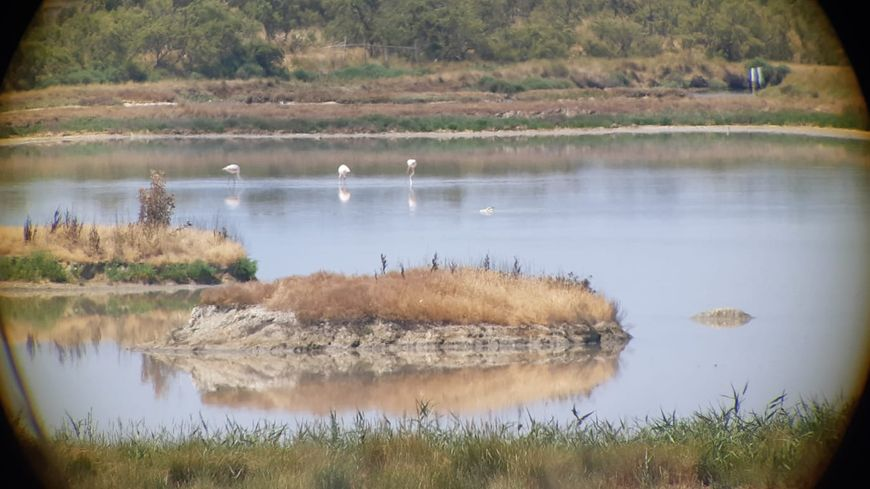 Les flamants roses du marais d'Olonne, depuis une longue vue.