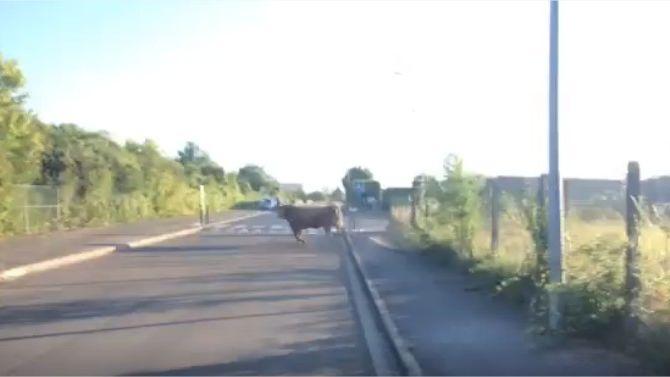Le taureau qui s'est échappé de l'abattoir de Meaux