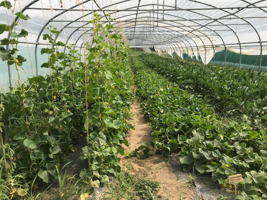Pour l'heure, les tomates sous serre se plaisent bien