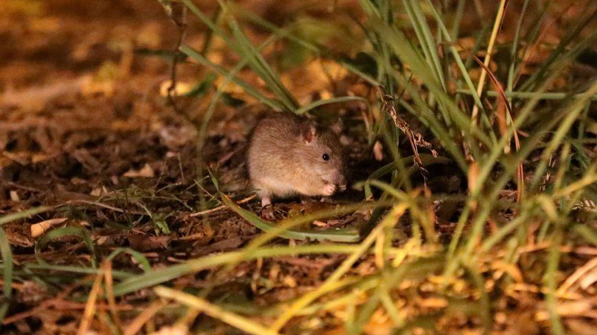 Un rat en sortie nocturne (photo d'illustration)