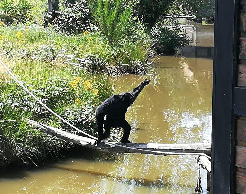 Siamang au Parc animalier d'Ardes sur Couze