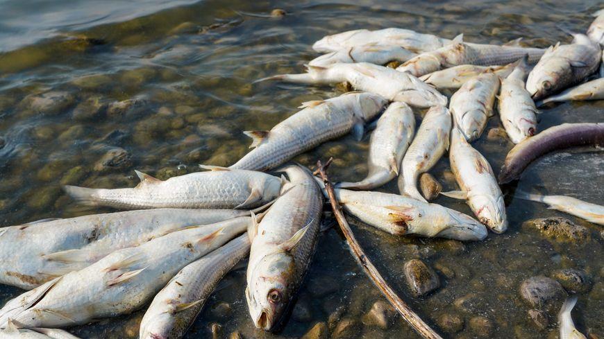 La chaleur tue les poissons de l'étang de Bolmon.