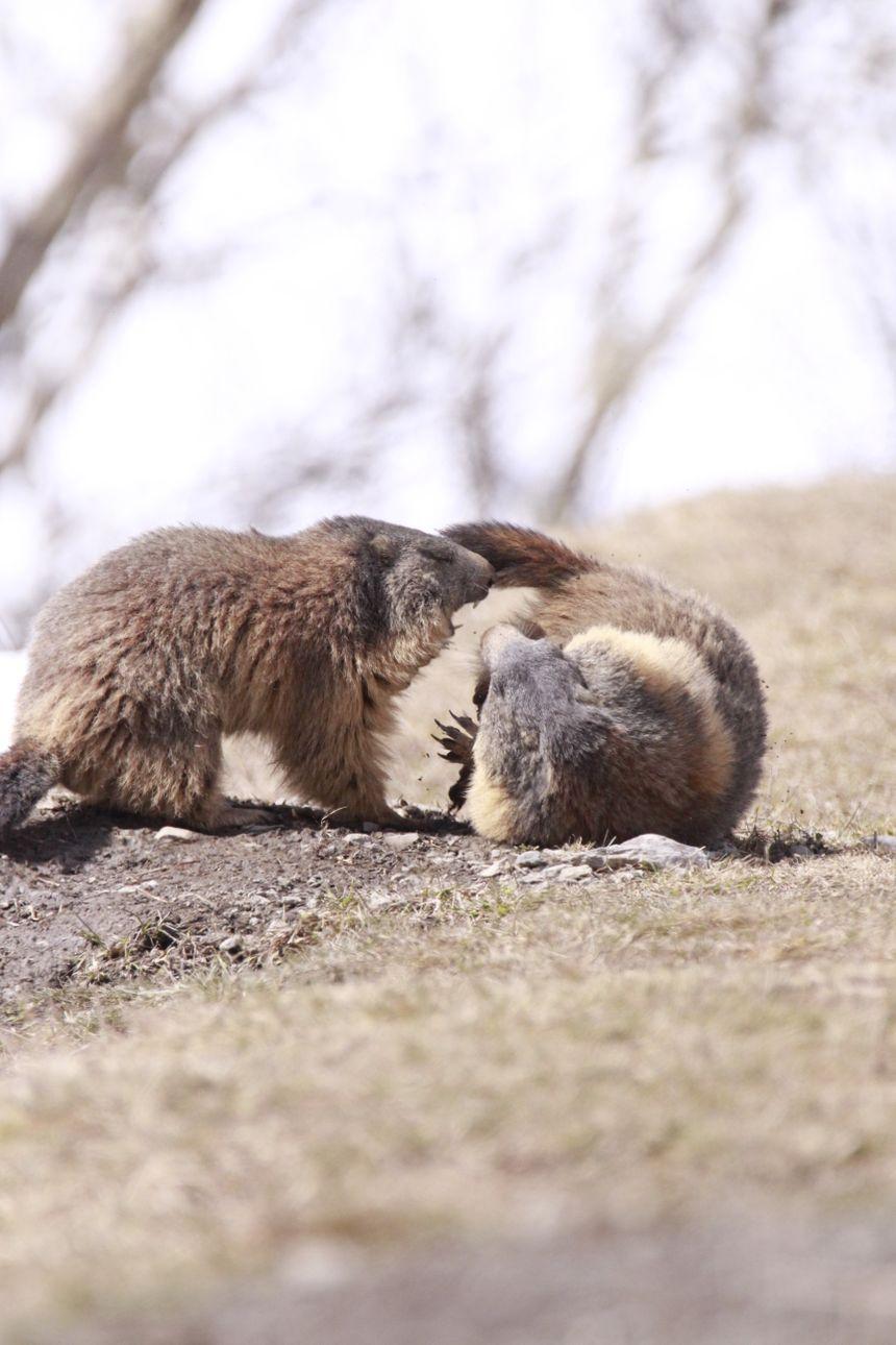 bagarre de territoire chez la marmotte !