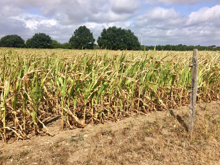 Le maïs de Clément Bulourde, jauni pas le solail et le manque d'eau, à Congrier.