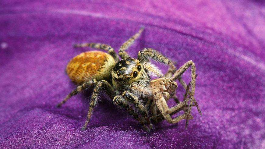 L'araignée sauteuse est très répandue en Drôme comme en Ardèche