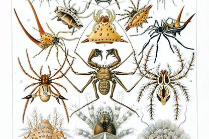 Araignées. Lithographie allemande de 1897