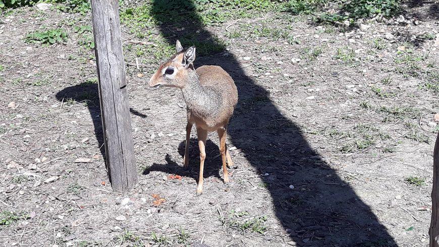 Le Dik Dik de Kirk aux jardins animaliers Biotropica à Val-de-Reuil (27=
