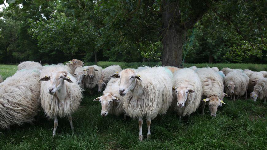 Le troupeau de brebis de cet éleveur du Cher est introuvable (photo d'illustration)