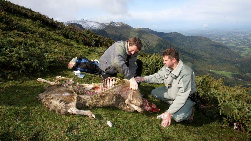 Un constat des agents de l'ONCFS et du Parc National des Pyrénées, dans le Béarn, en 2008.