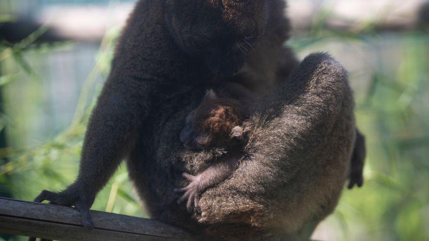 Trois semaines après sa naissance, le 2 juillet 2019 à la Citadelle de Besançon, le bébé Grand Hapalémur va encore rester accroché au ventre de sa mère durant près d'un mois et demi