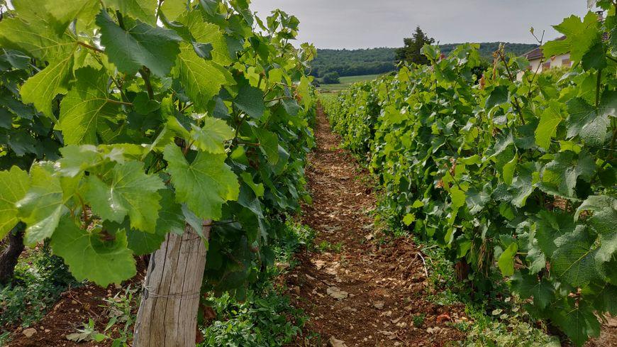A Marsannay-la-Côte, beaucoup de viticulteurs produisent du rosé