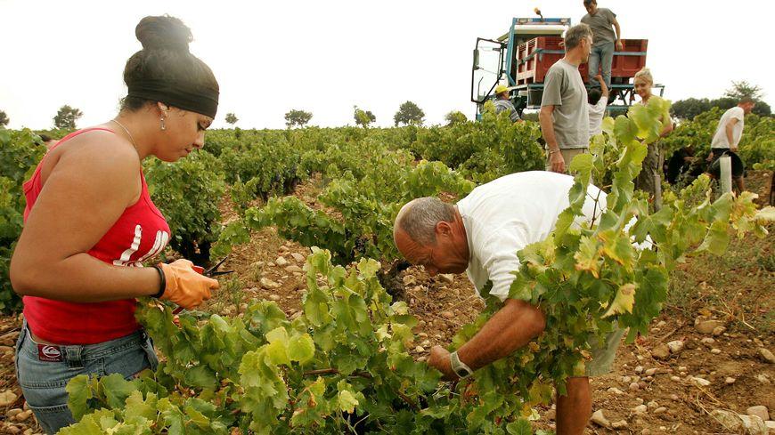 Les vendanges dans le vignoble de Chateauneuf-du-pape