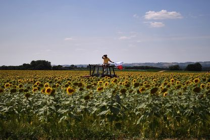 Le peloton en route entre Toulouse et Albi (photo d'illustration du repos au milieu des tournesols)